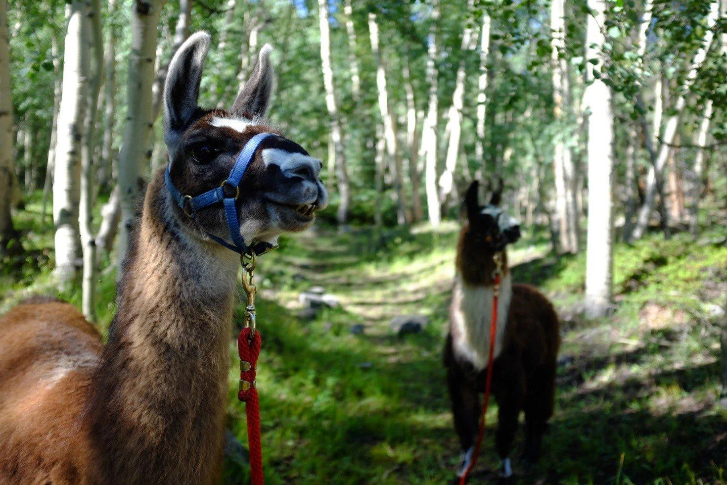 Reserveer nu jouw alpaca wandeling bij Dotter17